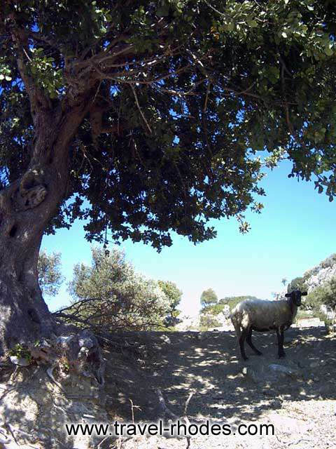 GOAT - A goat under the shadow of a tree